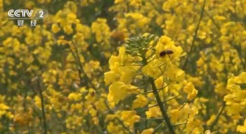 安徽黟县:徽州古村油菜花开 春意盎然