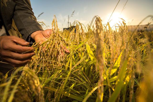 在吉林省舒兰市平安镇,农民在稻田间观察稻穗灌浆情况(2018年9月18日摄)。