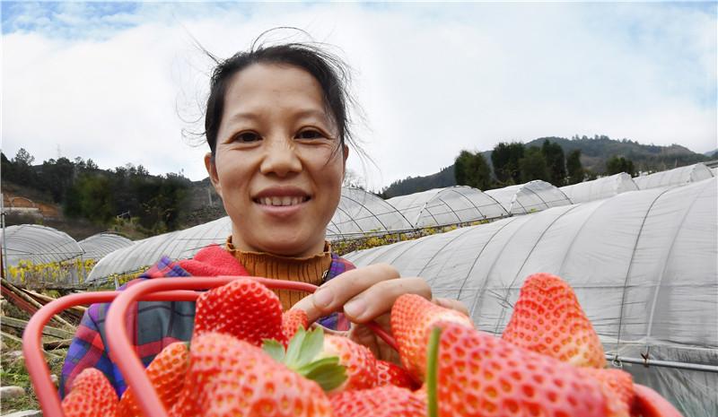 在寿宁县犀溪镇的福鑫达水果种植专业合作社草莓种植园大棚里,种植户缪素莲展示自家草莓。据介绍,合作社流转土地40亩,吸收当地贫困户50多户,贫困户每年每户可增收4000多元。