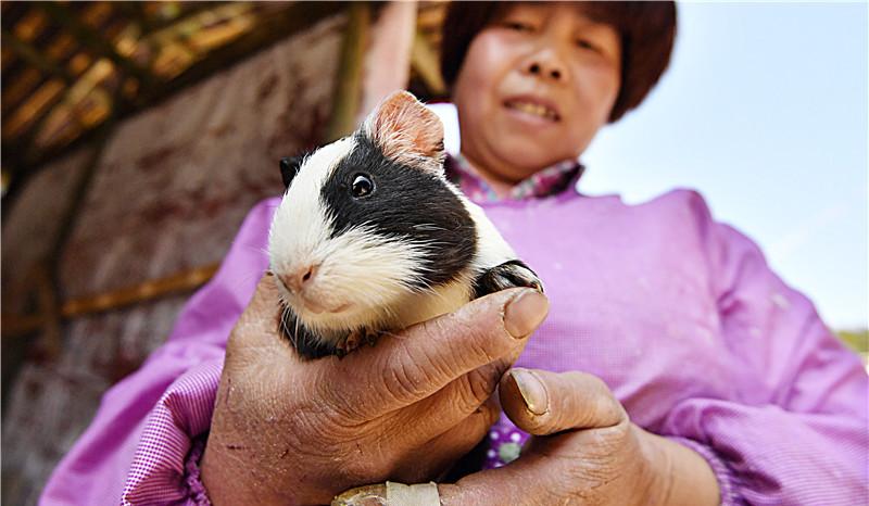 罗源县中房镇大洋村贫困户黄珠玉饲养的豚鼠,供不应求。黄珠玉被列为脱贫帮扶对象,在当地干部的鼓励和帮扶下,开办养殖场,第一年就赚了5万元。