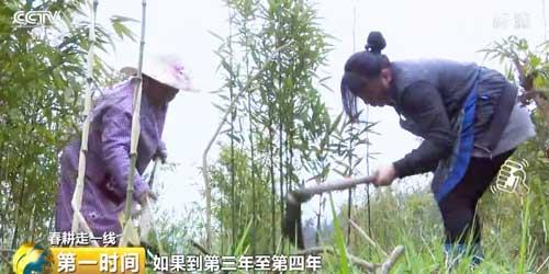 云南彝良:种下青翠竹苗 村民增收全靠它