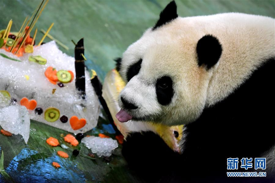 """大熊猫""""圆仔""""在台北动物园迎来6岁生日"""