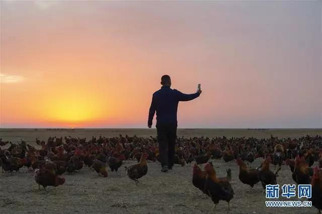"""桑庆军在黑龙江省明水县的草原上进行网络直播(2019年10月30日摄)。明水县属大兴安岭南麓集中连片特困地区。桑庆军2019年6月返乡创业,承包起30多亩林地和草原饲养""""溜达鸡"""",带领村民脱贫。桑庆军抛撒饲料,所行之处,上万只鸡紧紧跟随,被称为""""网红鸡将军""""。新华社发(谢剑飞摄)"""