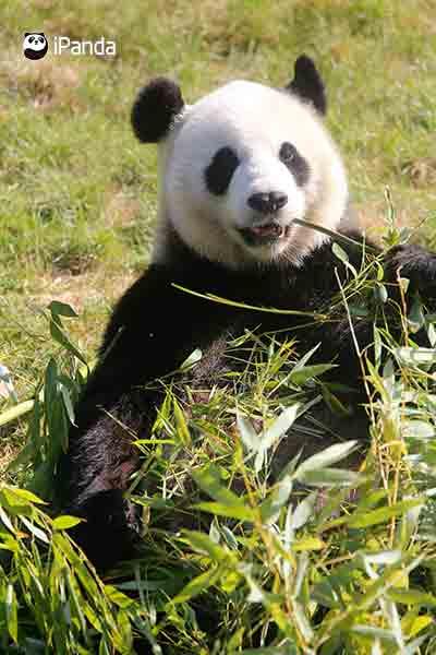 旅居比利時天堂公園的大熊貓