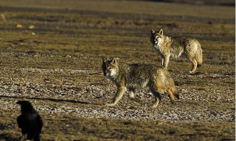 野狼-西藏羌塘国家级自然掩护区(摄影 林根火)