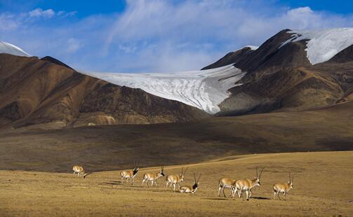 藏羚羊-西藏羌塘国家级自然掩护区(摄影 林根火)
