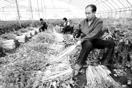 照片:11月23日,寿光市稻田镇桂河村的