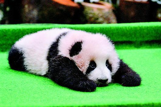 马来西亚国家动物园宣布进行为期一个月的大熊猫宝宝征名活动.