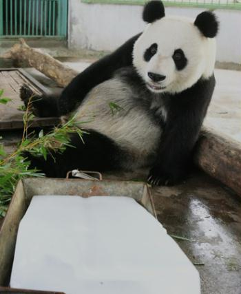 The giant panda Quan Quan cools herself sitting beside an ice block in the Jinan Zoo on June 22, 2008. [China Daily]