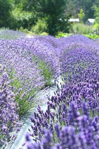 LavenderFestivalinTuscania