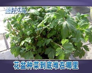 [科技苑]花盆种菜到底难在哪里(20130124)图片