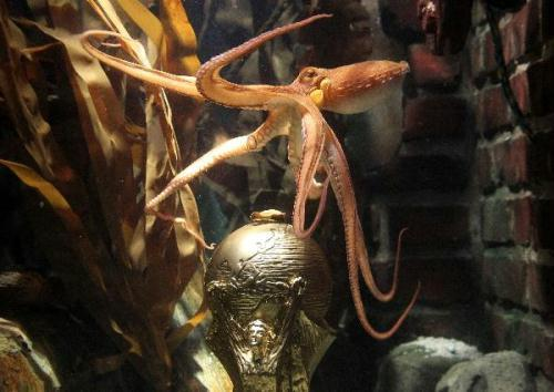 "Germany's so-called oracle octopus Paul, swims in front of a mock soccer World Cup trophy in its tank at the Sea Life Aquarium in the western German city of Oberhausen July 12, 2010. The two-year-old celebrity octopus, accurately picked the outcome of all six of Germany's 2010 World Cup matches, even the two defeats, and then went on to correctly predict Spain to beat the Netherlands in the World Cup final. The conservative German newspaper Frankfurter Allgemeine Zeitung paid tribute in its story to the celebrity octopus on Monday ""Paul the oracle octopus in Oberhausen got it right again,"" the FAZ wrote.(Xinhua/AFP Photo)"