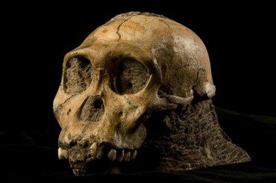 This undated handout photo provided by the journal Science shows the U.W. 88-50 cranium. (AP Photo/ Science, Brett Eloff)