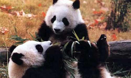 <b>Яань стал самым большим райским местом для панд по всему миру</b>
