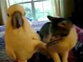 实拍鹦鹉和猫调情相互爱抚