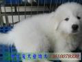 广州乐宠犬业 狗狗 宠物狗
