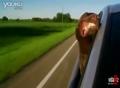 搞笑动物!狗狗坐车兜风