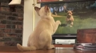 猫咪太有才了 看着录像带学做猫猫体操