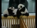 场面难得一见 成都熊猫宝宝群殴