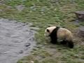 惊险!熊猫宝宝滑滑梯