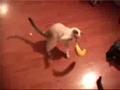 猫咪遇到活香蕉