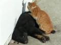 猫猫给狗狗做按摩!