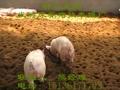 最新生态养猪技术