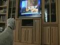 搞笑动物!狗狗看电视相当的投入