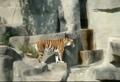 史上最怂的老虎 居然被小鸟吓一大跳