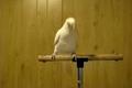 神兽再现:疯狂鹦鹉跳摇摆舞,摇头不要太High哦!