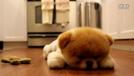 俊介的对手!!!Facebook最红的狗狗Boo 麻麻我困了