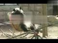 超萌大熊猫坐摇椅 这货美得要上天了
