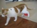 一只被带静电的气球折磨的萌猫