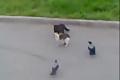 两猫打架二鸟围观 这两只鸟看得也太high了点吧!