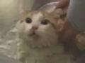 吃货猫咪一洗澡就喊巧克力 喊得那叫个字正腔圆