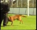 国外马犬训练视频