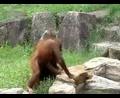 太可爱了~ 猩猩用毛巾给自己洗脸