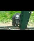 太可爱了!黑猩猩手语求救