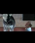 """搞笑哈士奇狗狗和宝宝互相""""飙歌"""""""