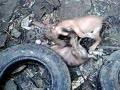 杜高和罗威纳串的小狗打架
