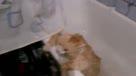 肥猫想逃离浴缸 这表情太可爱了哈