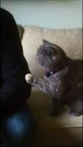猫版本小媳妇超含蓄!用小肉蹼抓抓跟主人讨摸摸