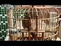 母画眉鸟叫声(加视频)-128x96