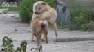 狗狗交配过程叫声最凄凉的母狗