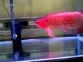 龙鱼之巅——55公分的超血红龙鱼