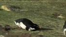 呆萌企鹅爆笑摔倒合集