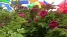 2014洛阳牡丹花卉节 实拍国花牡丹