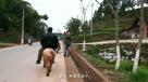【拍客】重庆老汉骑猪逛街 路人开车追拍