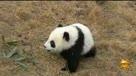 萌爆了!和一根竹子较劲的大熊猫