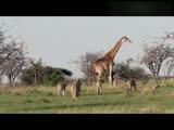长颈鹿妈妈为护宝宝抬腿猛踢吓退狮群